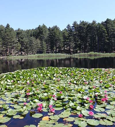 nenuphar du lac crenu