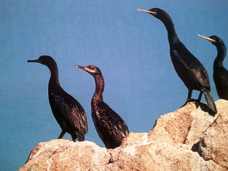 cormoran huppé