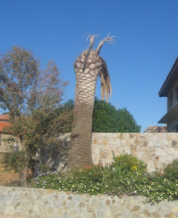 palmier corse malade