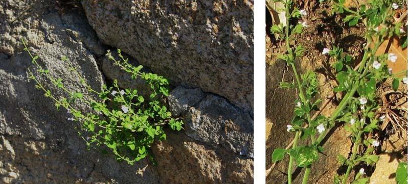 plante gout mentholé