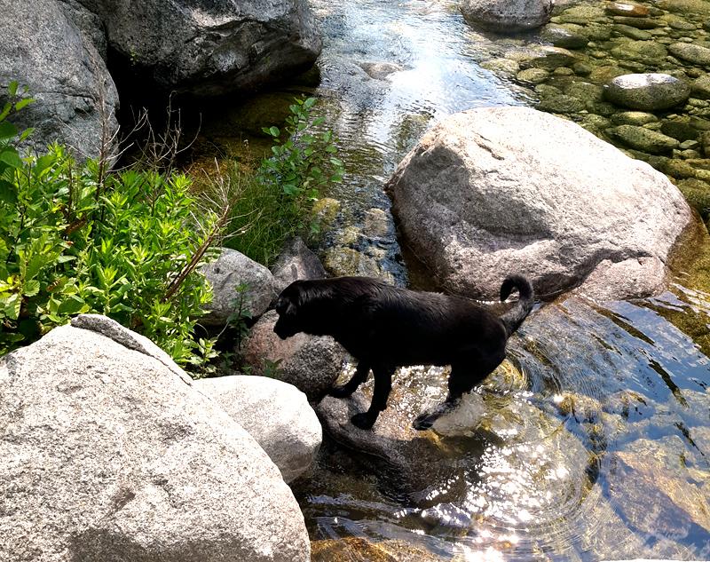 chien de pitrapola