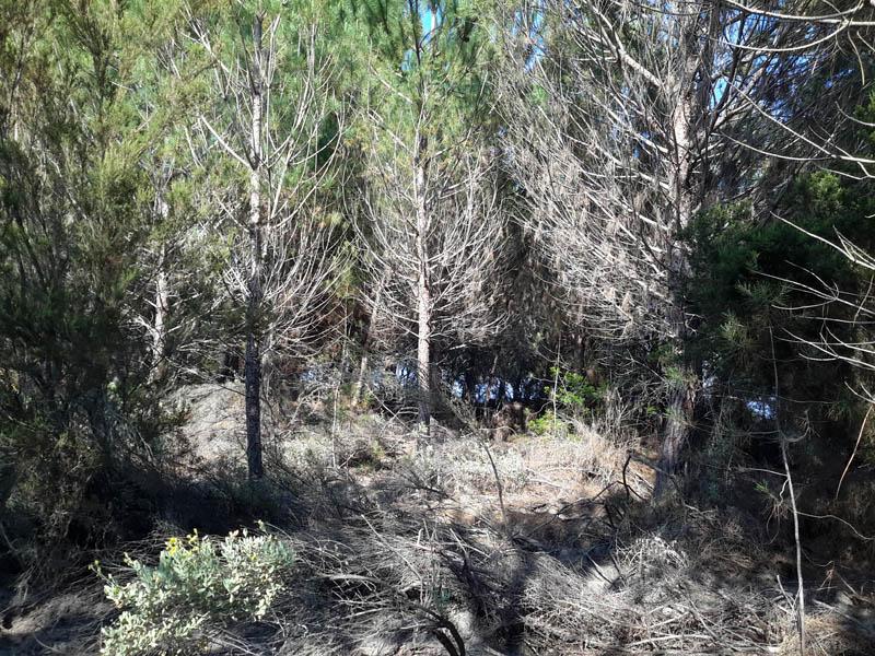 pin de la foret de Pinia