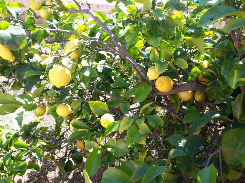 citron-corse