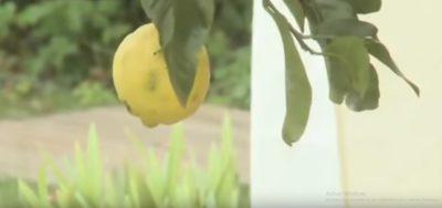 citronnier corse